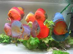 ASSORTED DISCUS (SMALL)
