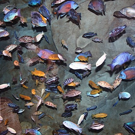 Assorted African Cichlid LG