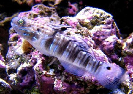 DRAGON SLEEPER GOBY