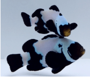 BLACK SNOWFLAKE EXTREME CLOWNFISH MEDIUM (Amphiprion Ocellaris)