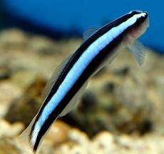 Blue Neon Goby The Aquatic Den