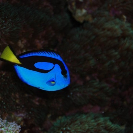 BLUE REGAL TANG