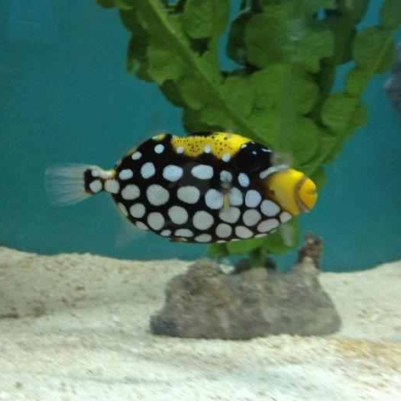 "CLOWN TRIGGERFISH 2.5""-3.5"""