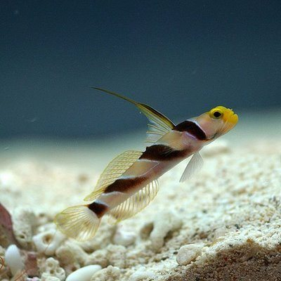 HI FIN BANDED GOBY