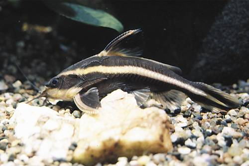 STRIPED RAPHAEL CATFISH
