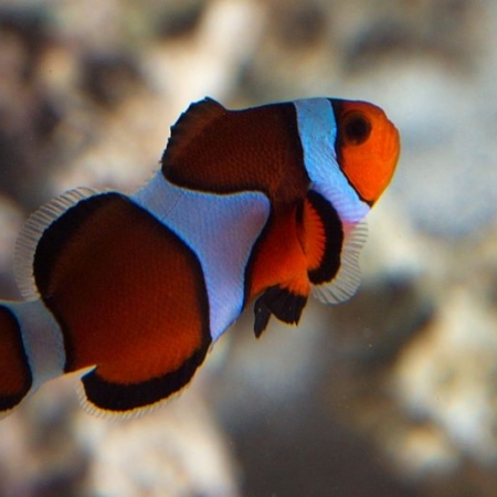 TRUE PERCULA MISBAR CLOWNFISH