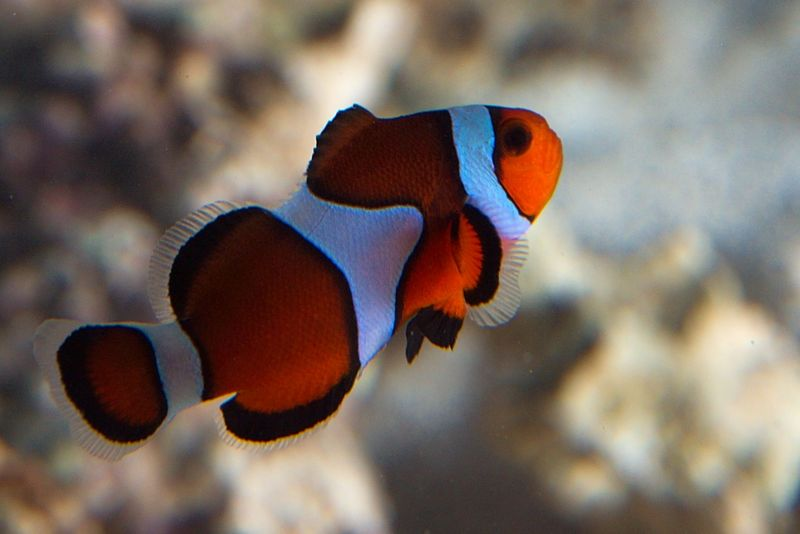 True percula misbar clownfish the aquatic den for Clown fish for sale