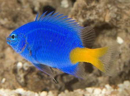The Regal Angelfish may nip at largepolyped stony corals an occasional soft coral and clam mantles but may be kept with smallpolyped stony corals and somewhat noxious soft corals To entice a Regal Angelfish to eat use a diet of fresh shrimp and chopped seafood