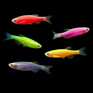 ASSORTED GLOFISH DANIO