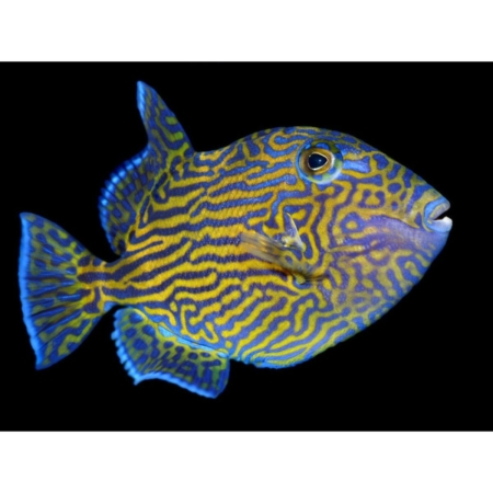 BLUE LINE TRIGGERFISH (Pseudobalistes fuscus)