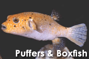 Puffers & Boxfish