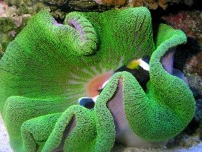 GREEN CARPET ANEMONE