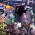 ASSORTED ANGELFISH (Jumbo)