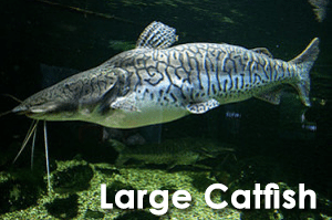 Large Catfish