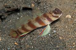 RED BARRED SHRIMP GOBY