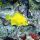 YELLOW TANG SMALL