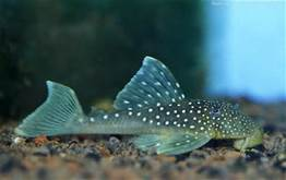 BLUE PHANTOM PLECO (L128)